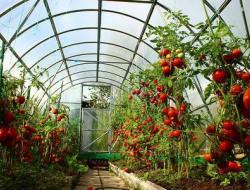 Теплица под помидоры