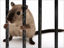 Интересные факты о крысах, которые помогут при борьбе с ними